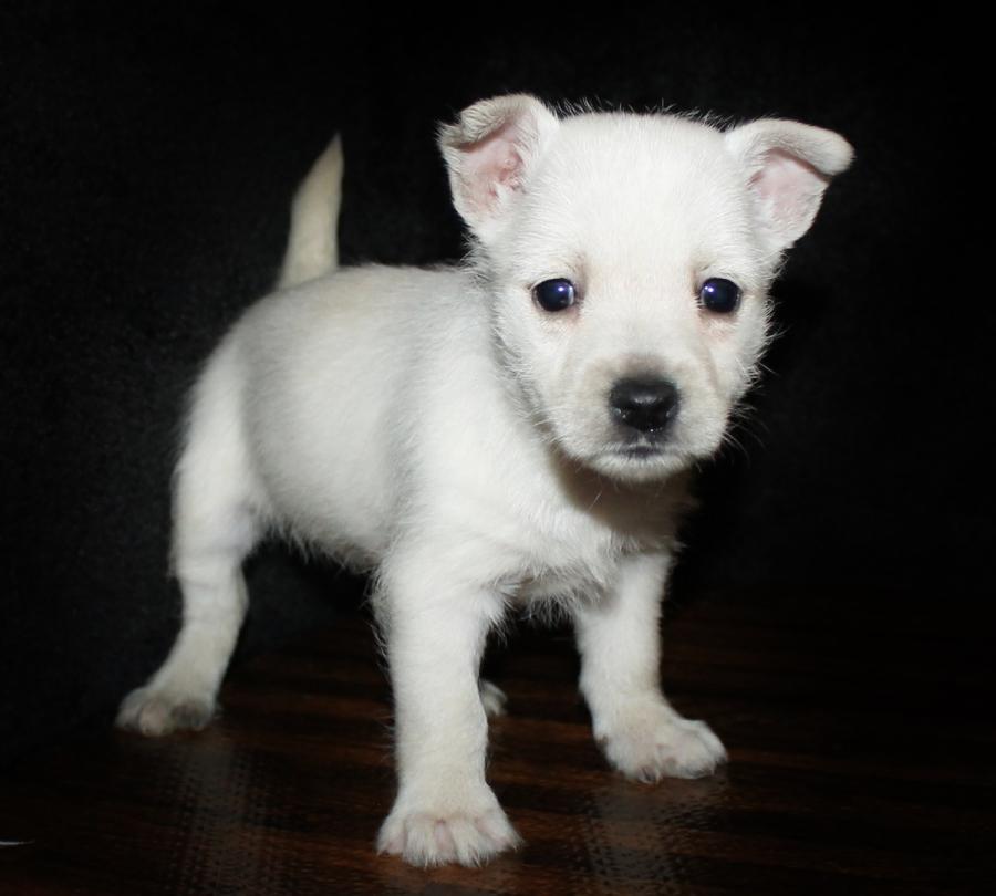 Top Notch Puppies Westie Puppies